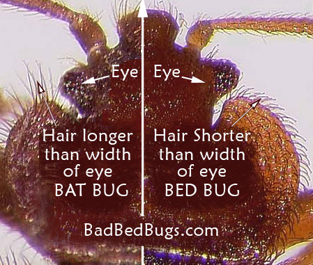 Bat bug compared to a bed bug
