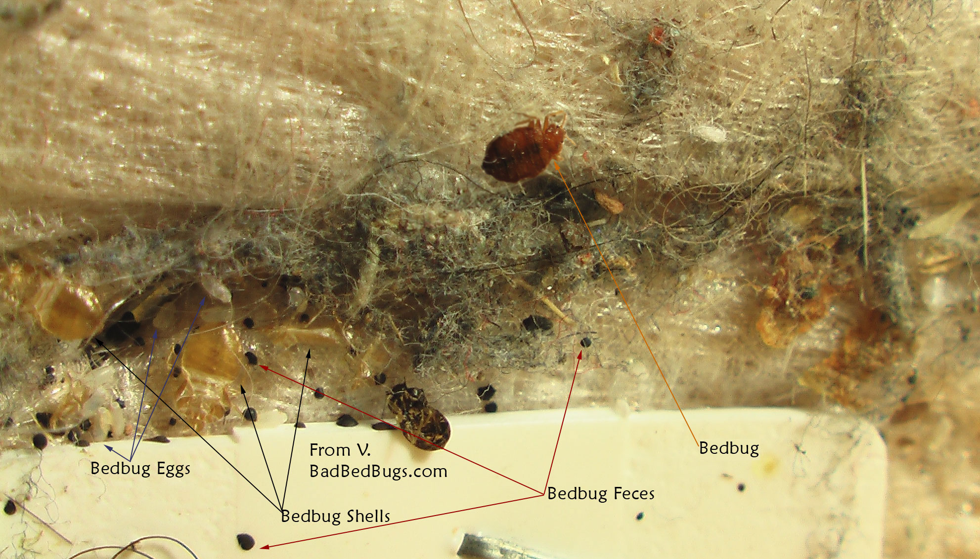 Bed Bugs Life Cycle Pictures of what Bed Bugs look like