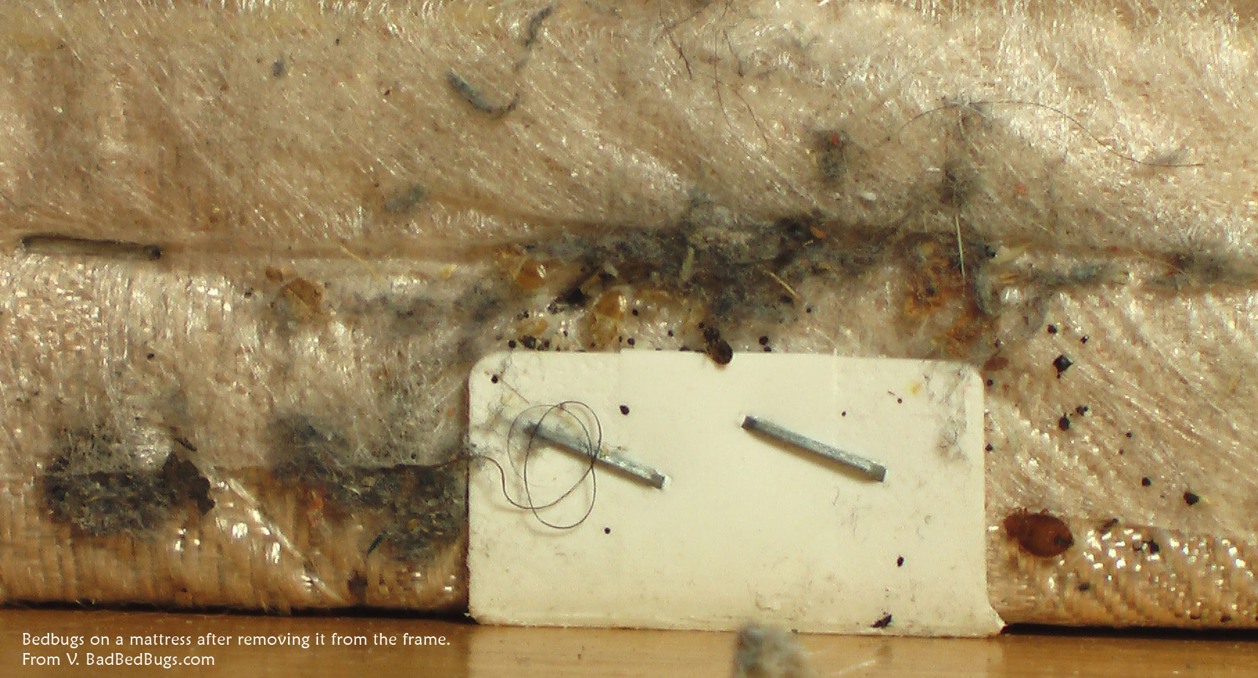 Bed Bugs Picture 08. Pictures of what Bed Bugs look like