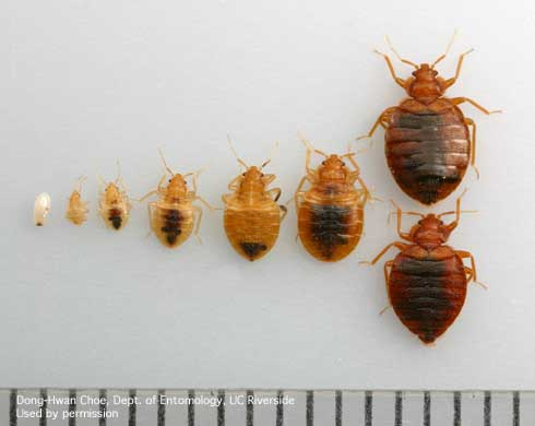 Bed bug at different stages of life cycle credit: ipm.ucdavis.edu