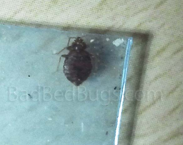 Adult bedbug in a blue plastic bag