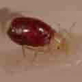 Baby bed bug during its first feeding
