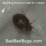 Bed bug found crawling at 3am