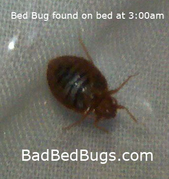 Oval shaped bedbug found crawling at 3am