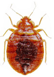 small picture of bed bug