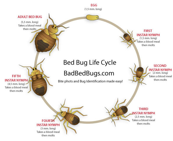 Lifecycle of a bed bug