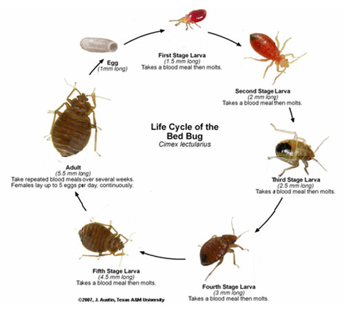 Images of bed bugs at different stages in their lifecycle