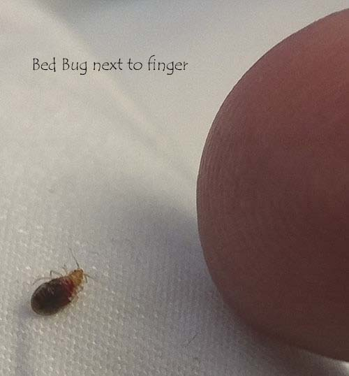 how to look for bed bugs in your bed