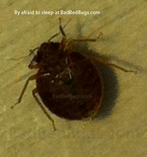 Dark round adult bedbug found at night