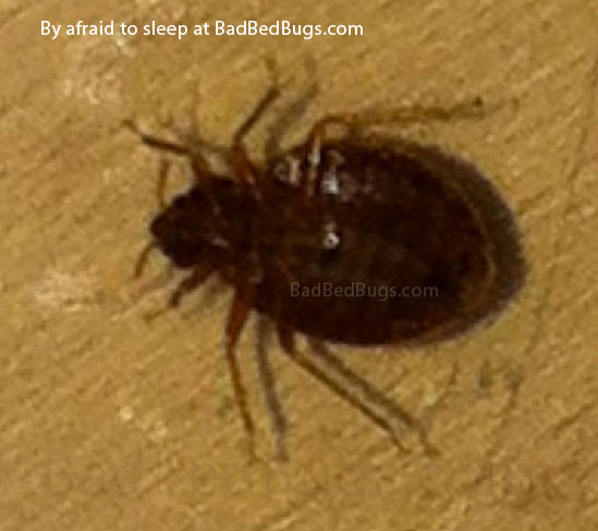 Bedbug on wood found at night