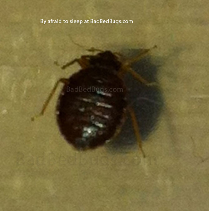 Dark brown bedbug found at night