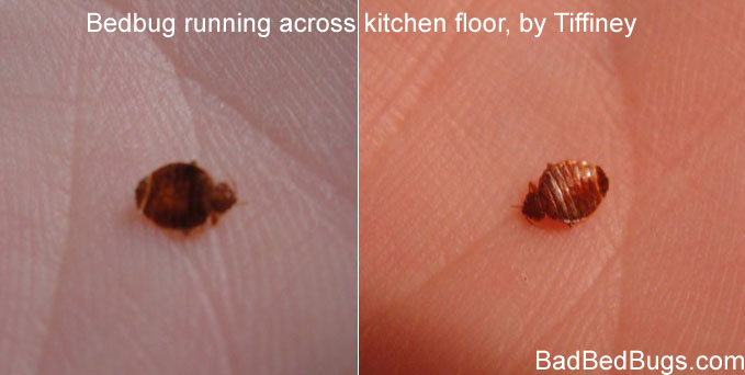 Bedbugs shown in hand by Tiffiney