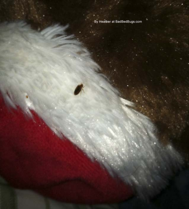 Bedbug crawling on christmas stocking