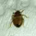 Adult brown bed bug found by Cassy