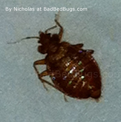 Bedbug found by nicholas Over the course of a female bed bugs life, ...