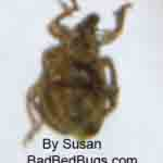 Bedbug found by Susan