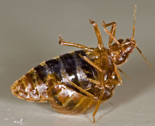 Underside of a female bed bug