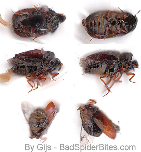 Black bed bugs with wings - photo#7