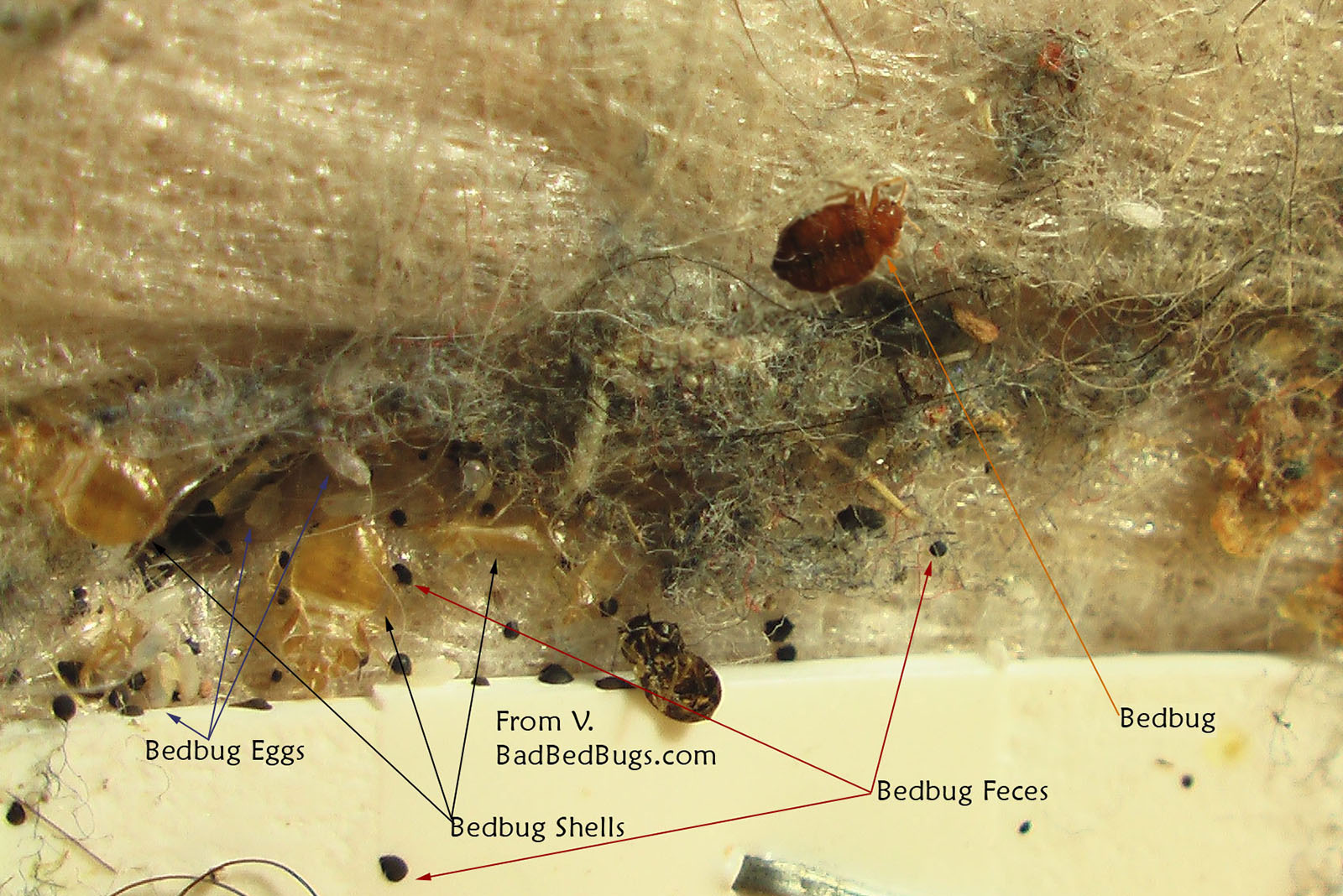 Can Bed Bugs Infest One Area Of House