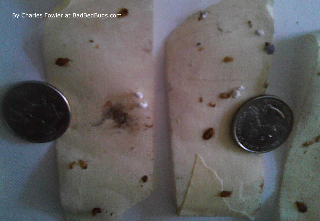 Bed bug eggs on wall pictures of what bed bugs look like on skin and