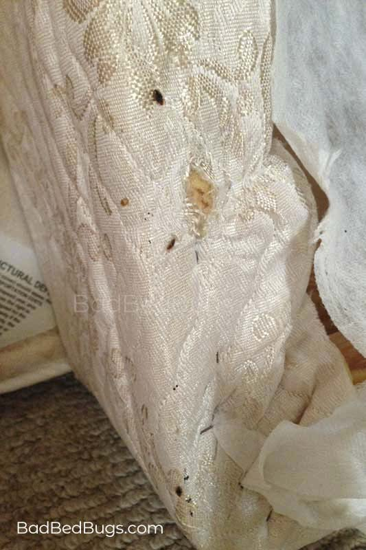Bed bugs infested this mattress box spring