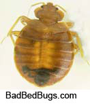 Adult round brown bedbug with black spot which is blood