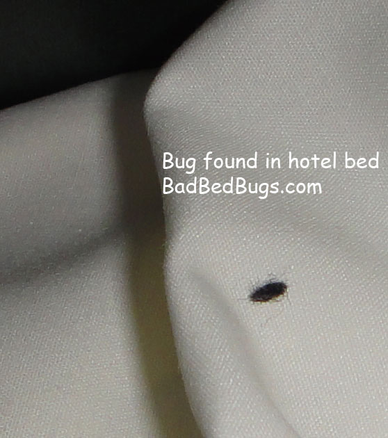 What do bed bug droppings look like