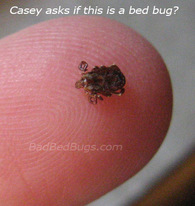 Casey's Bed Bug turned out to be an arachnid