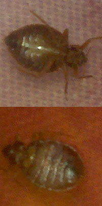 Large brown adult bedbug