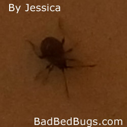 Tiny Black Round Bug http://www.badbedbugs.com/bed-bugs-photo/