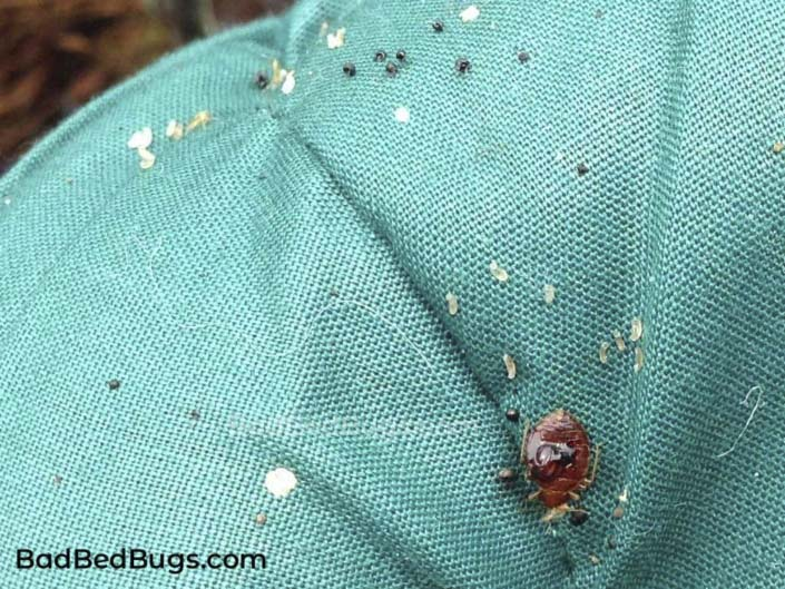 Bed bug poop and eggs on mattress pillow