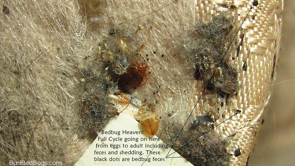 Picture of a bed bug nest