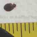 A bed bug compared to a tape measure