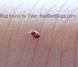 Baby bedbug full of blood