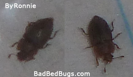 Bedbug found by Ronnie