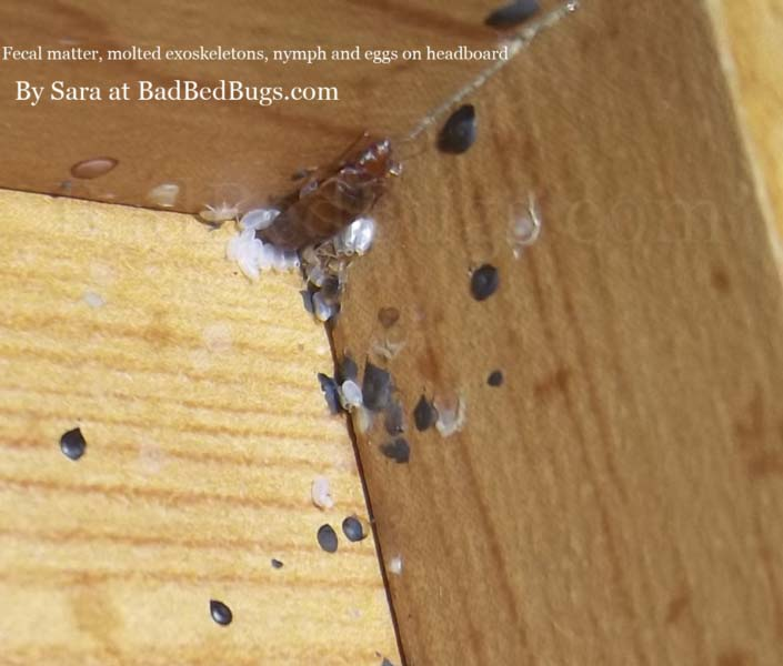 Bed bug next in mattress headboard