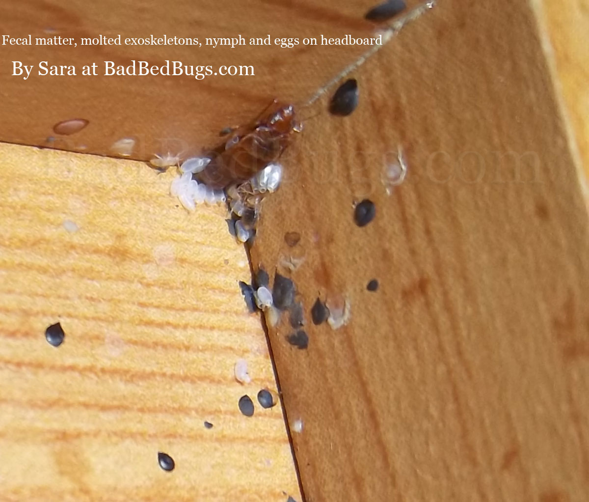 Pictures Of What Bed Bugs Look Like