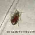 This is what a bed bug looks like after the first feeding of blood.