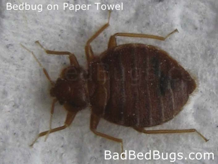 Adult round bedbug on paper towel